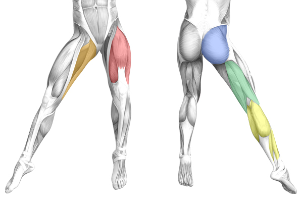 Anatomie des jambes