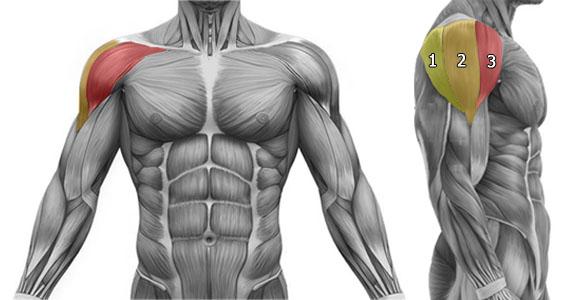 Anatomie des épaules